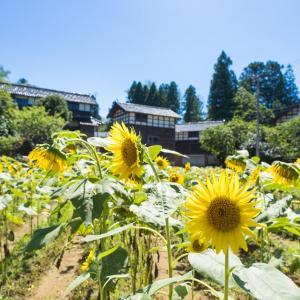 今年は見ごろが遅くてお盆休みに楽しめる金沢市平栗地区のひまわり畑