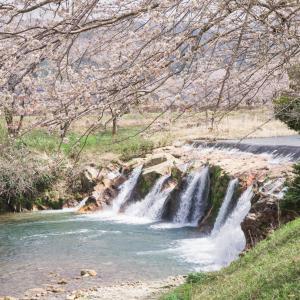 小松方面の桜もほぼ満開に近くなってきました