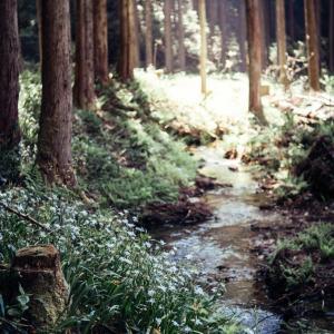 小松市・遊泉寺銅山跡のシャガの花が次第に咲いてきました【Fujinon 55mm f2.2で試し撮り】