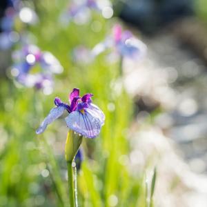 金沢の卯辰山花菖蒲園で紫陽花と菖蒲が咲き始めました。