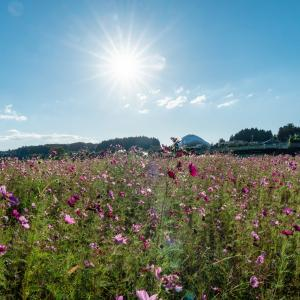 小松市津波倉町のコスモス畑が見ごろになっていました。