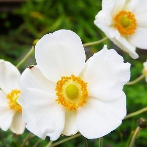 シュウメイギク咲く北鎌倉・浄智寺から切通を抜けシオン咲く海蔵寺へ♪