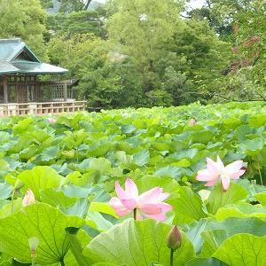 【鎌倉】鶴岡八幡宮のハスがきれい^^☆しっとり梅雨時さんぽ♪