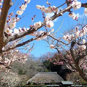 【江ノ電】新林公園でウメを眺めて七里の青い海へ★