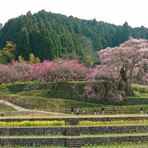 【奈良の旅】又兵衛桜(宇陀市) ・本郷の瀧桜とも呼ばれる見事な古木