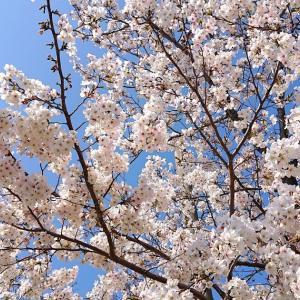 【令和2年】南河内の桜 その1 ・今年は新型コロナウイルス対策で高速お花見