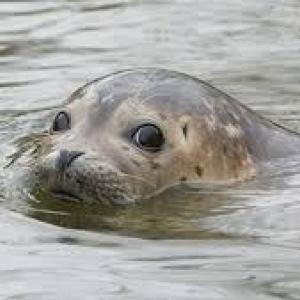 【動画】アザラシさん、海で叫んでたうっさい陽キャにブチ切れるwwwww