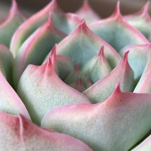 淡いピンクが可愛い・・・シルエット。