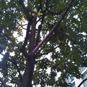 課題図書『タヌキのきょうしつ』のクロガネモチの木を見つけた~苦労しなくても金持ちになる木?