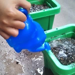 小学3年が学校で植えるホウセンカ・マリーゴールド・ミニひまわりを自宅でも育てることに