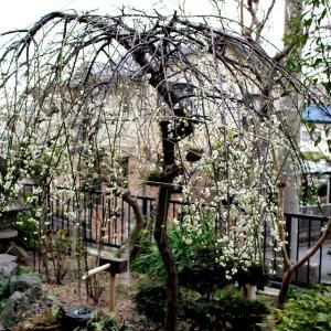 素敵な枝垂れ梅