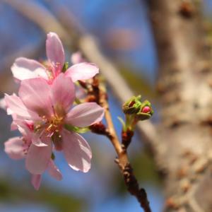大岡公園の十月桜
