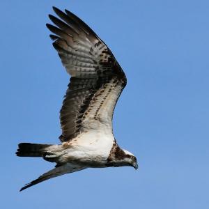 型落ちミラーレス1眼で猛禽飛翔撮り ミサゴ