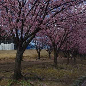 今年の開花は早いかも!サクラを眺めて気分転換!