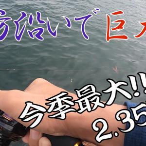 堤防沿いで巨大蛸!今期最大の2.35kg!