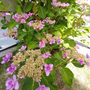 庭の紫陽花「ダンスパーティー」