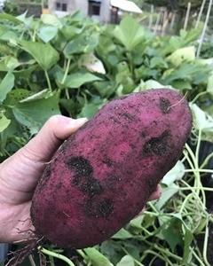 サツマイモの育て方(栽培方法)