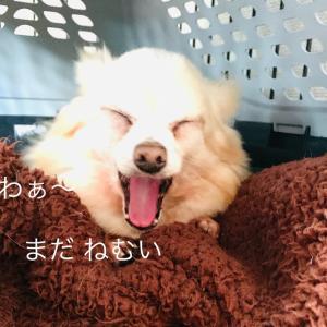 9/20 日向ぼっこ/老犬感 ちわわボス
