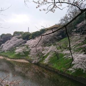 千鳥ヶ淵の桜散策