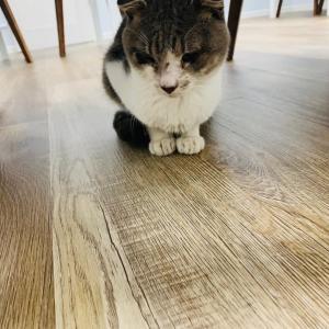 お店に耳折れ猫さんがやってきました。 迷い猫は警察で保護してくれました!