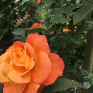 薔薇ほころび舞う