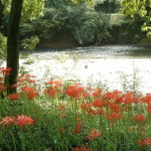 巾着田曼珠沙華公園 &紅あずまを堪能♪