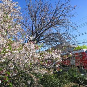 静岡鉄道は狐ヶ崎付近のソメイヨシノ?とA3002 (2019年4月 昨年です)