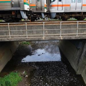 小川に浮かぶサクラの花びらと普通列車のすれ違い (2020年4月 浜松-天竜川)