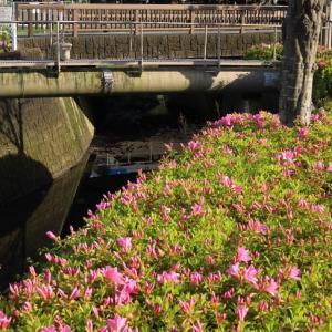 地元の小川に咲き始めたツツジ?とEF210貨物 (2020年4月)