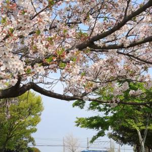 EF210 5073レと桜 東海道本線豊田町駅付近(2021年4月)
