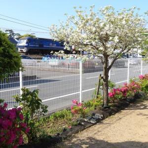 EF210と近所の公園のツツジ(2021年4月 オマケはEF65)