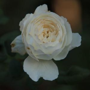 本格的な秋バラになるとデジイチで撮りたくなる…。(≧▽≦)