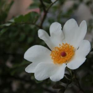 カカヤンバラと紫陽花。