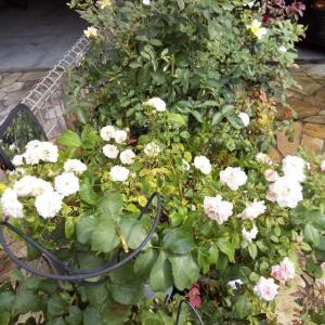 ソコソコ二番花の季節。