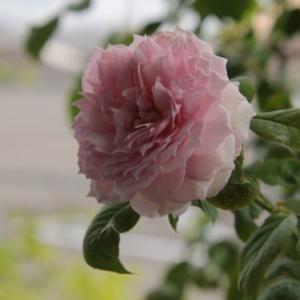 二番花でも綺麗なバラ。