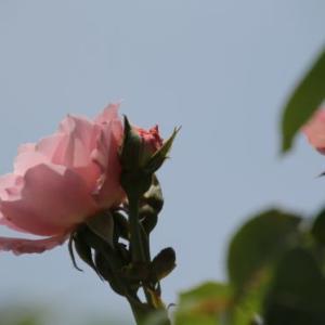 二番花がチラホラ。(*´▽`*)