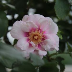 二番花は夏花。(^_^;)