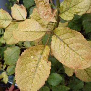 活力剤の葉面散布。