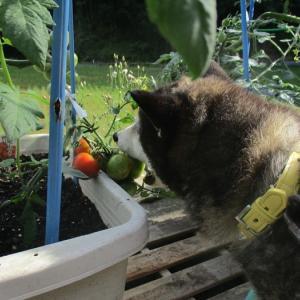 2個目をゲットしたけど青いトマトは美味しくありません。