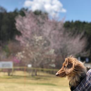 タリーの桜旅2021【河口湖篇⑧】みんなを守るじょ!白鳥vsタリー@山中湖