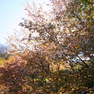 最北の桜の便り&ソフトクリーム