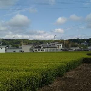 老育12 茶畑から青梅へ