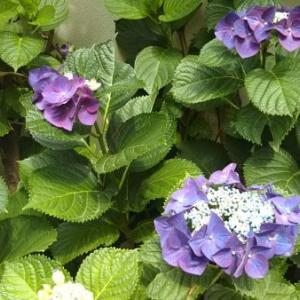 老育20 紫陽花の季節