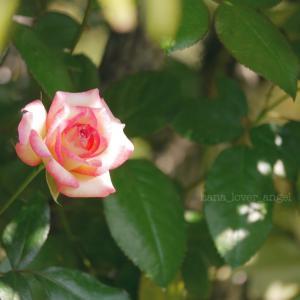 バラの花 ハートを開く