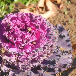 葉牡丹 紫と 植物園内