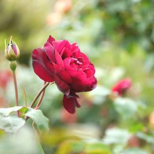 薔薇 赤 淡い黄色