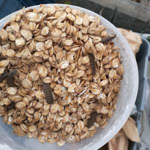 圧ペン麦で無料で集魚力を底上げする方法