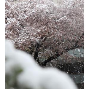 大雪にサクラ美しい景色とユーカリに癒される