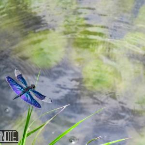 [写真]溜池と水草とトンボ