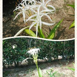 学校守衛物語ー70  《可憐なハマユウの花》